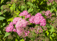 Pink spirea Royalty Free Stock Photos