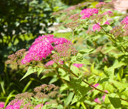 Pink spirea Royalty Free Stock Photography