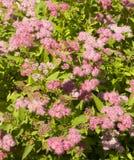 Pink spirea Royalty Free Stock Image