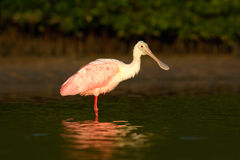 Pink Spoonbill bird. Beautiful sunrise with bird, Platalea ajaja, Roseate Spoonbill, in the water sun back light, detail portrait. Florida Royalty Free Stock Photography