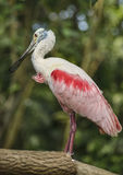 Pink Spoonbill bird Royalty Free Stock Images
