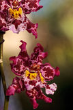 Pink spotted Cattleya orchid flower morph Stock Image