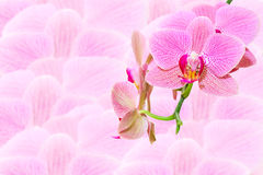 Pink spotted exotic flowers on blurred orchids Royalty Free Stock Images
