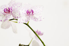 Pink spotted flower Royalty Free Stock Photo