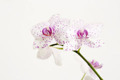 Pink spotted flower Stock Photography