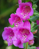 Pink Spotted Foxglove. Blooming in May at the Chicago Botanical Gardens Royalty Free Stock Images
