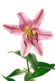 Pink Spotted Lily on White Royalty Free Stock Image