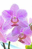 Pink spotted orchid flowers Stock Image