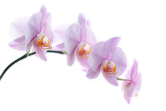 Pink spotted orchids isolated on white background Stock Images