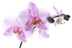 Pink spotted orchids on white stock photography