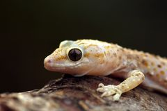 Pink spotted wall lizard Royalty Free Stock Photography