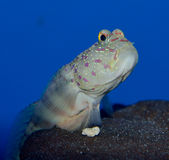 Pink Spotted Watchman Goby. Goby fish perched on a rock. Blue background. Cryptocentrus leptocephalus Royalty Free Stock Images