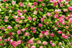 Pink spray roses. With green buds and leaves Stock Photos
