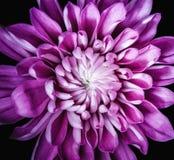 Pink Spraymum. Face on shot of a Spraymum Flower Royalty Free Stock Image