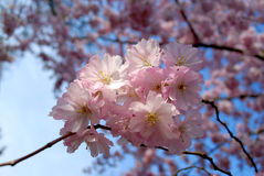 Pink spring. Japan cherry tree Royalty Free Stock Images