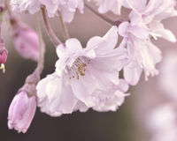 Pink Spring Beauty. Pink weeping cherry spring blossoms Stock Photography