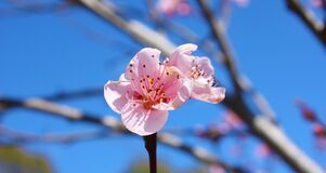 Pink spring bloom  Royalty Free Stock Image
