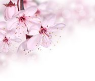 Pink spring blossom stock photography