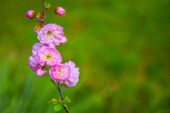 Pink spring blossom Stock Photo