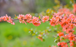 Pink spring blossom royalty free stock image