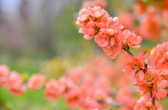 Pink spring blossom stock image