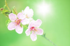 Pink spring blossom sun Stock Photos