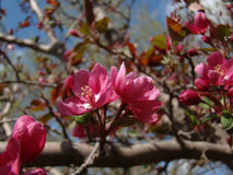 Pink Spring Blossoms. Beautiful pink spring blossoms of the crabapple tree royalty free stock photos