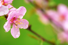Pink spring blossoms Stock Photos