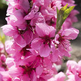 Pink spring blossoms Royalty Free Stock Photo