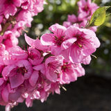 Pink spring blossoms Royalty Free Stock Image