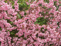 Pink spring blossoms Stock Photo
