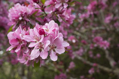 Pink spring blossoms Royalty Free Stock Photography