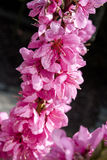 Pink spring blossoms Stock Image