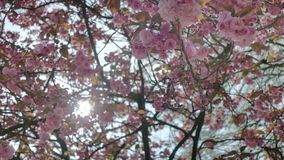Pink Spring Cherry Blossom Flowers Lens Flare stock video footage