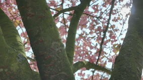 Pink Spring Cherry Blossom Tree Branches Lens Flare stock video footage