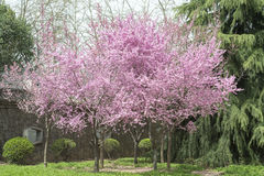 Pink Spring Cherry Trees Royalty Free Stock Photography