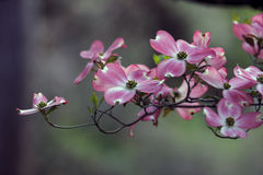 Pink spring dogwoods Stock Images