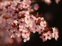 Pink Spring Flowers Stock Photos