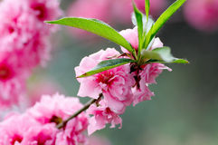 Pink spring flowers Royalty Free Stock Image