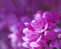Pink Spring Flowers. Background up close Stock Photos