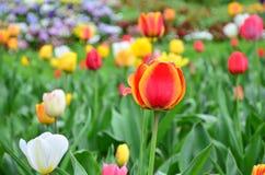 Multi coloured tulips on nature background. Keukenhof-Holland Stock Photography