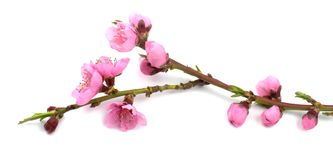 Pink spring flowers branch. Royalty Free Stock Image