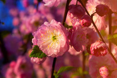 Pink spring flowers. In the garden Stock Photography