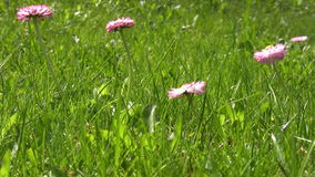 Pink spring flowers in the grass stock video