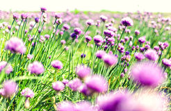 Pink spring flowers on meadow Stock Photos