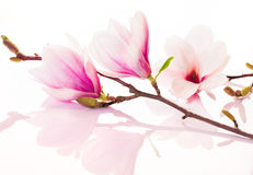 Pink spring flowers with reflection Royalty Free Stock Photo