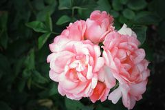 Pink spring flowers roses Royalty Free Stock Photo