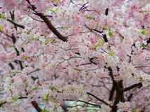 Pink spring flowers. On tree Royalty Free Stock Photos