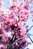 Pink spring flowers on a tree branch over blue sky background. Pink spring flowers on a tree branch over blue sky background stock photography