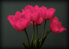 Pink spring flowers tulips. Pink spring flowers, tulips on dark  background Royalty Free Stock Photography